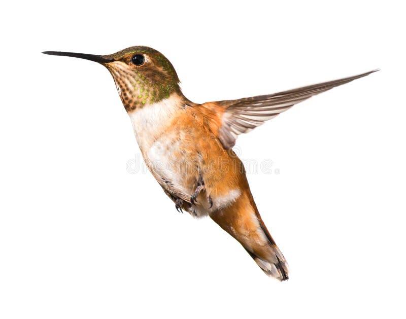 Colibri bonito no vôo fotografia de stock royalty free