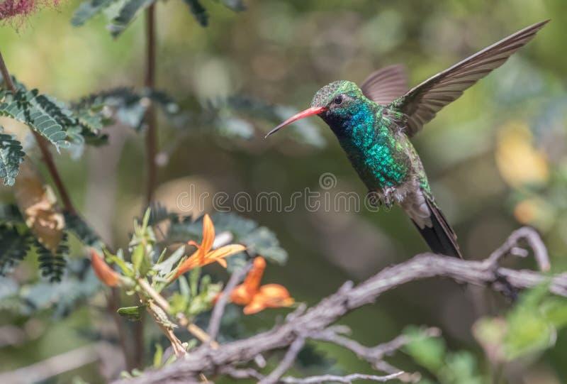 Colibri Broad-billed masculino foto de stock