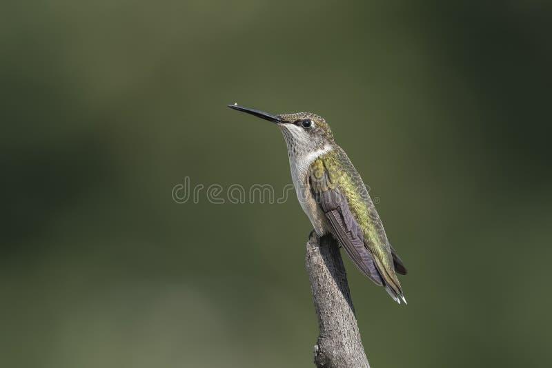 Colibri com o inseto restante em seu bico imagem de stock royalty free