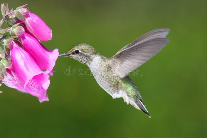 Colibri d'Annas (Calypte Anna) images libres de droits