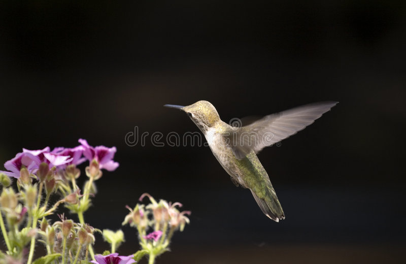 Colibri d'isolement photo libre de droits