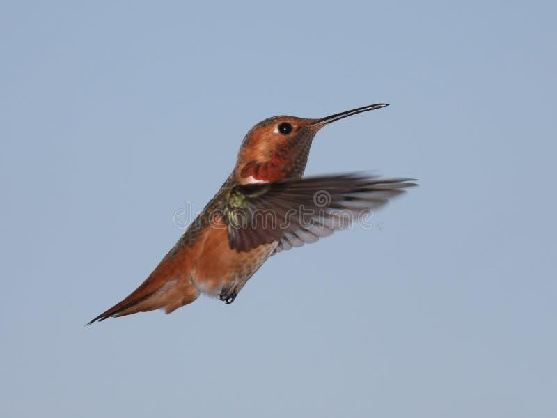 Colibri de Allen foto de stock