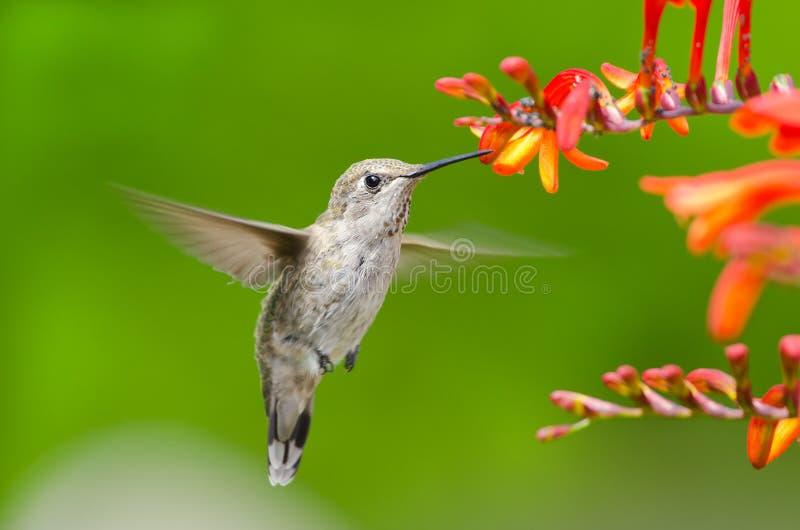 Colibri de Annas que alimenta em flores de Crocosmia fotos de stock royalty free
