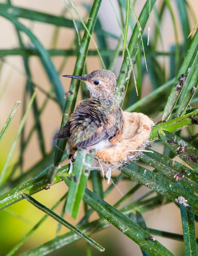 Colibri de bébé prêt à laisser le nid image libre de droits