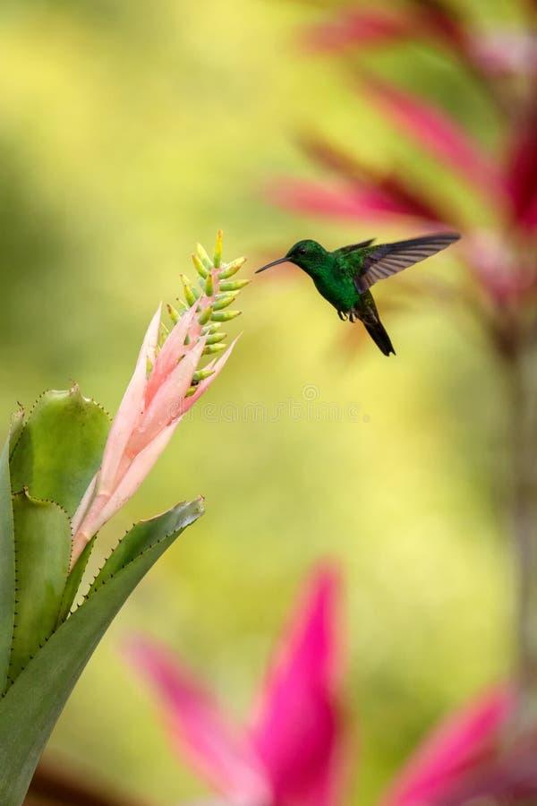 Colibri de cuivre-rumped planant à côté du rose et de la fleur jaune, oiseau en vol, forêt tropicale caribean, Trinidad-et-Tobago photographie stock libre de droits