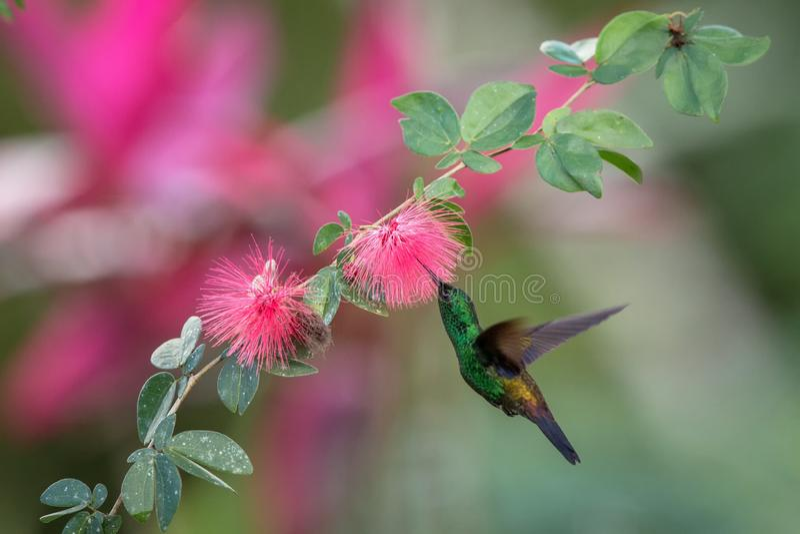Colibri de cuivre-rumped planant à côté de la fleur rose de mimosa, oiseau en vol, forêt tropicale caribean, Trinidad-et-Tobago photo stock