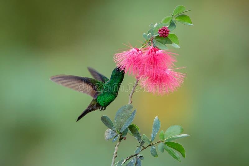 Colibri de cuivre-rumped planant à côté de la fleur rose de mimosa, oiseau en vol, forêt tropicale caribean, Trinidad-et-Tobago photos stock