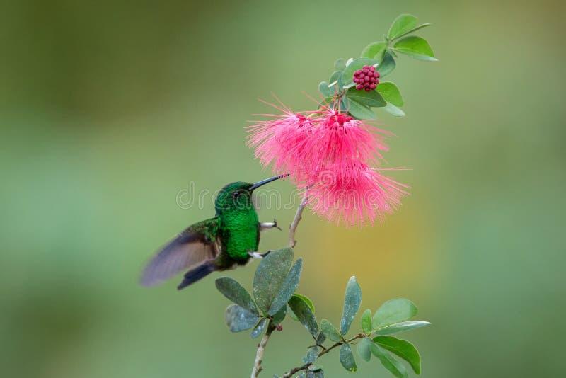 Colibri de cuivre-rumped planant à côté de la fleur rose de mimosa, oiseau en vol, forêt tropicale caribean, Trinidad-et-Tobago image libre de droits