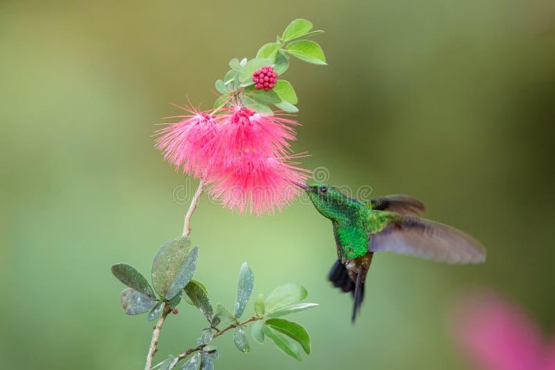 Colibri de cuivre-rumped planant à côté de la fleur rose de mimosa, oiseau en vol, forêt tropicale caribean, Trinidad-et-Tobago photo libre de droits