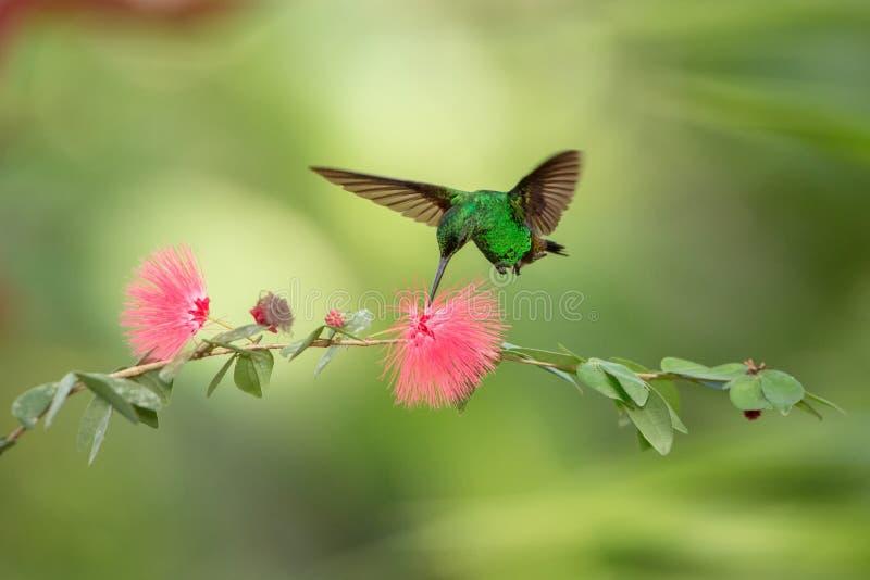Colibri de cuivre-rumped planant à côté de la fleur rose de mimosa, oiseau en vol, forêt tropicale caribean, Trinidad-et-Tobago photos libres de droits