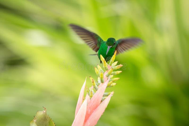 Colibri de cuivre-rumped planant à côté de la fleur rose, oiseau en vol, forêt tropicale caribean, Trinidad-et-Tobago photos libres de droits
