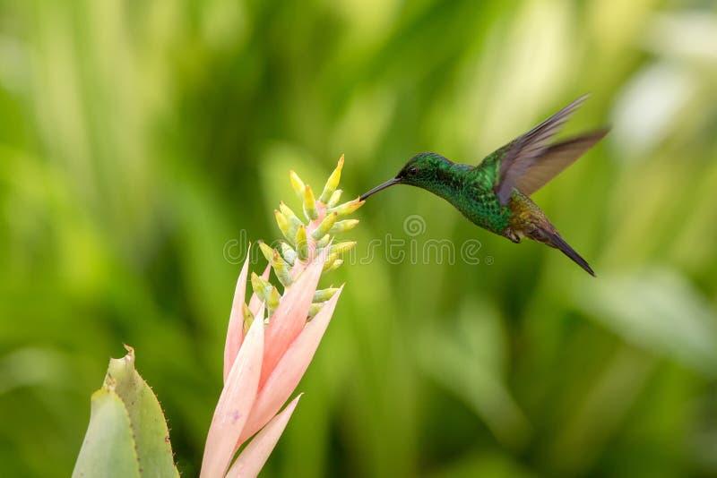 Colibri de cuivre-rumped planant à côté de la fleur rose, oiseau en vol, forêt tropicale caribean, Trinidad-et-Tobago photo libre de droits