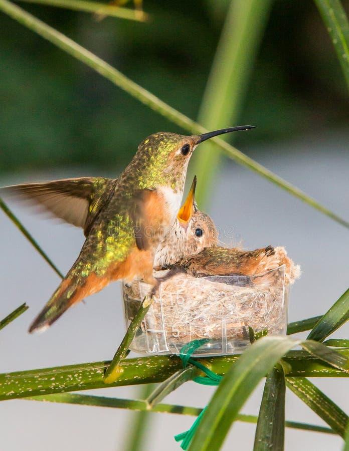 Colibri de mère alimentant ses jeunes photographie stock
