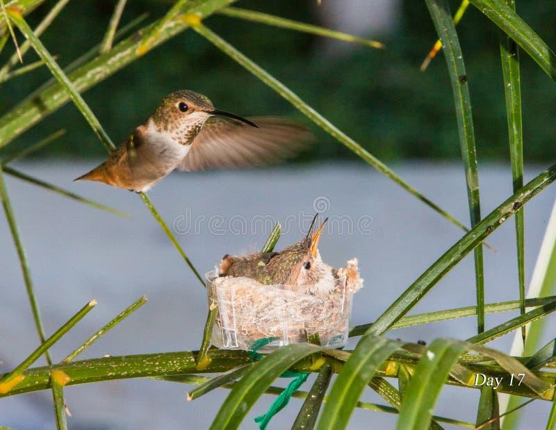 Colibri de mère alimentant ses jeunes images libres de droits