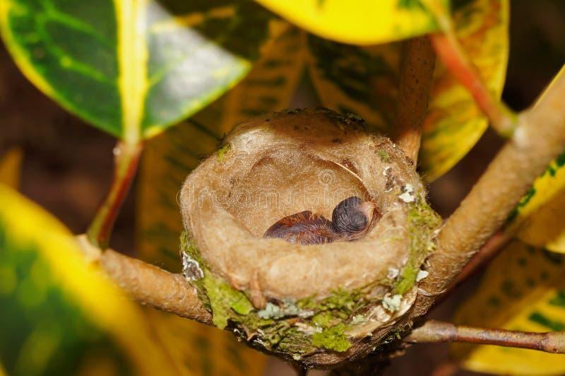 Colibri do bebê no ninho Costa Rica fotos de stock