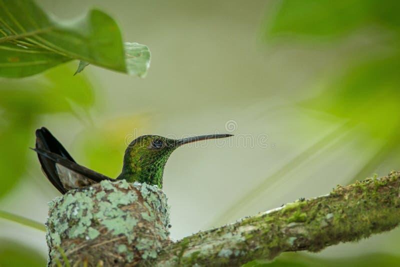 Colibri do cobre-rumped do colibri que senta-se em seu ninho em Trindade e Tobago fotos de stock royalty free