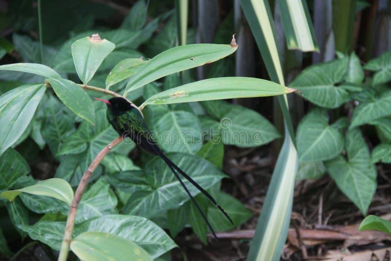 Colibri do verde de Smaal no jardim imagem de stock royalty free