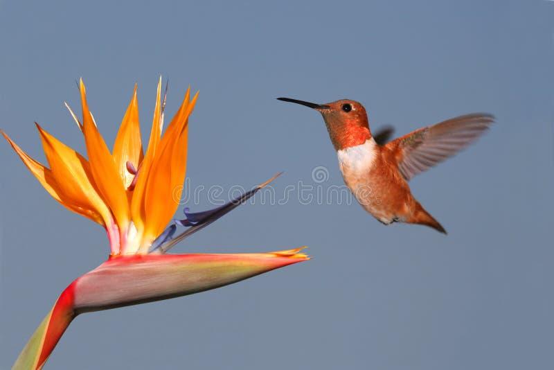 Colibri e pássaro de paraíso Rufous fotografia de stock royalty free