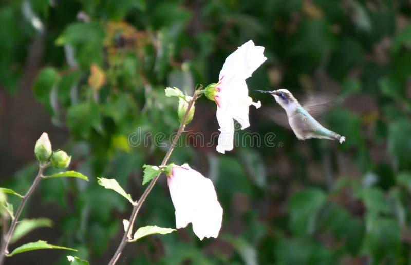 Colibri em voo imagem de stock