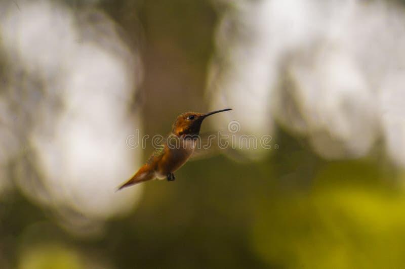 Colibri em voo brilhantemente colorido minúsculo imagens de stock royalty free