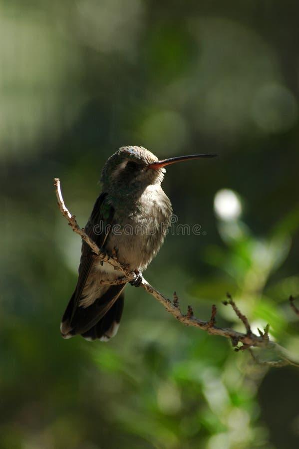 Colibri empoleirado 2 fotos de stock