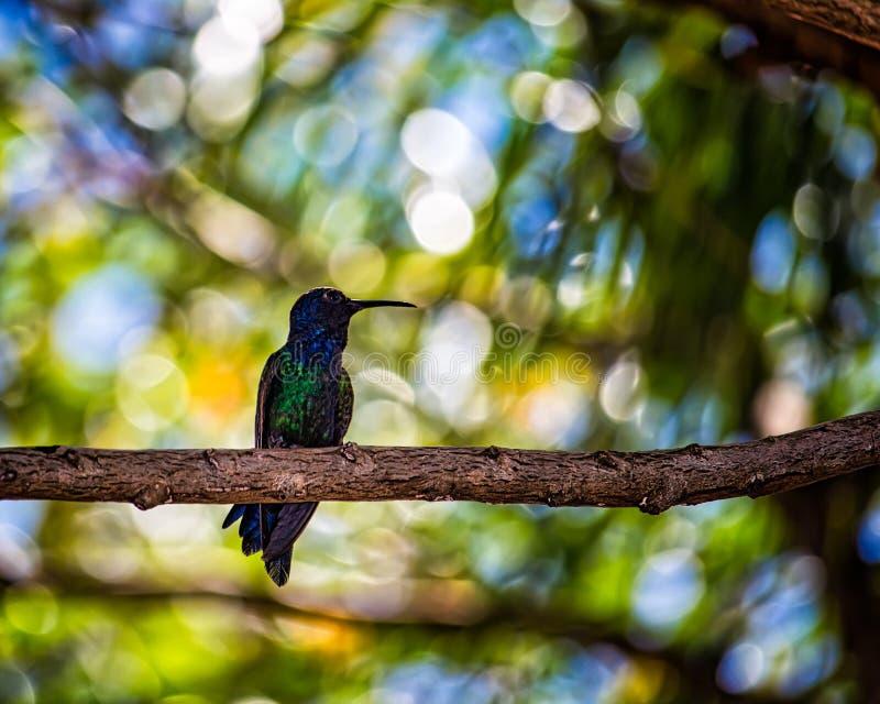 Colibri empoleirado na filial de árvore foto de stock royalty free