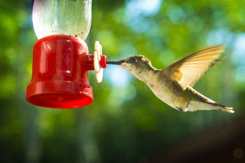 Colibri En Vol À Red Bird Feeder photos libres de droits