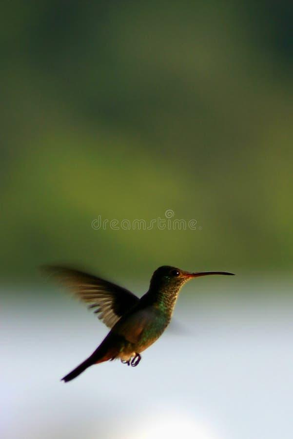 Colibri en vol photos stock