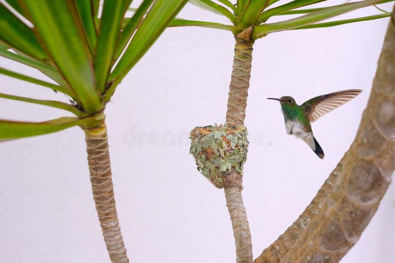 Colibri esmeralda Brilhar-inchado fêmea, Chlorostilbon Lucidus, voando para trás a seu ninho, Brasil imagens de stock royalty free