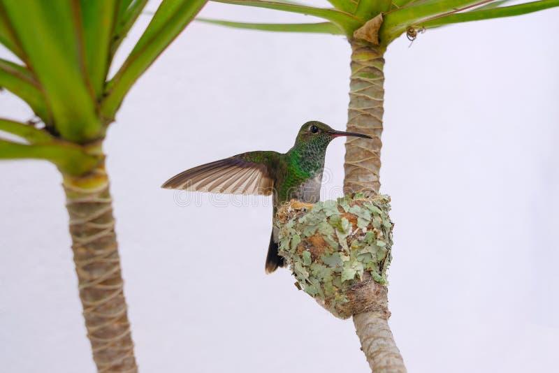 Colibri esmeralda Brilhar-inchado fêmea, Chlorostilbon Lucidus, voando para trás a seu ninho, Brasil fotografia de stock