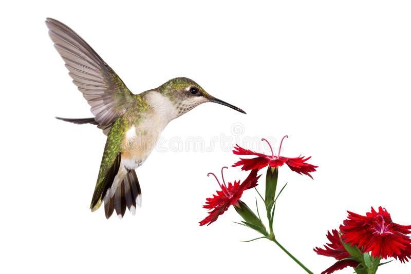 Colibri et trois oeillets photos libres de droits