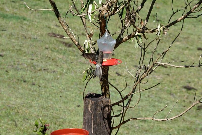 Colibri gigante na reserva ecológica de Antisana imagem de stock royalty free