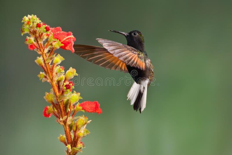 Colibri gonflé par noir photos stock