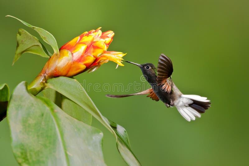 Colibri gonflé par noir images stock