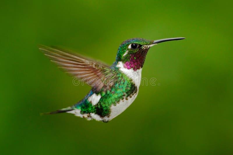 Colibri grêle Woodstar Blanc-gonflé, colibri avec le fond vert clair Oiseau de Tandayapa Colibri d'Equateur image stock