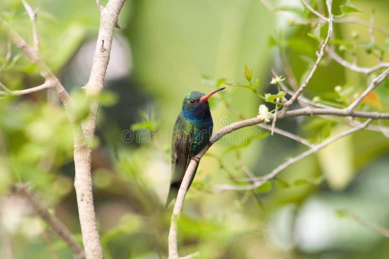 Colibri Grand-Affiché (latrostris de Cynanthus) photographie stock libre de droits
