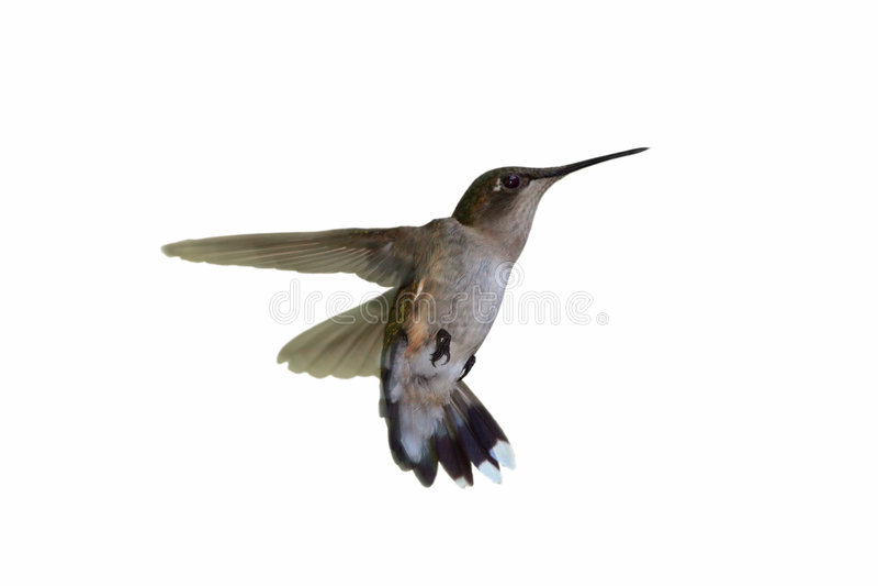 Colibri isolado fotografia de stock royalty free