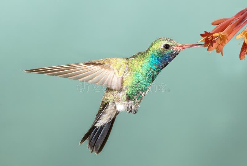 colibri Large-affiché photo stock