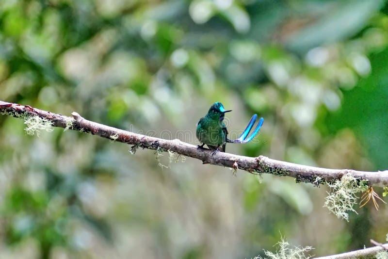 Colibri Long-tailed de Sylph photos stock