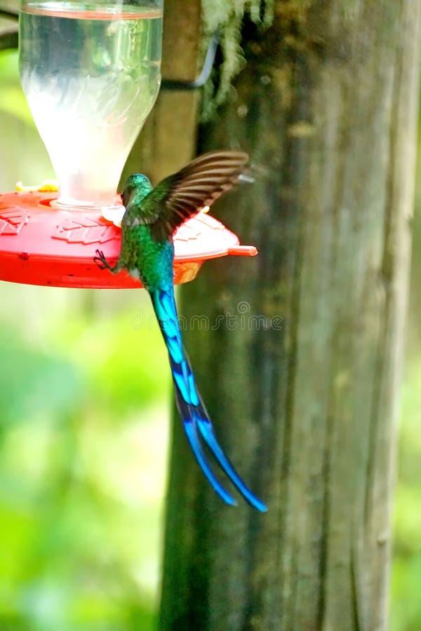 Colibri Long-tailed de Sylph photo libre de droits