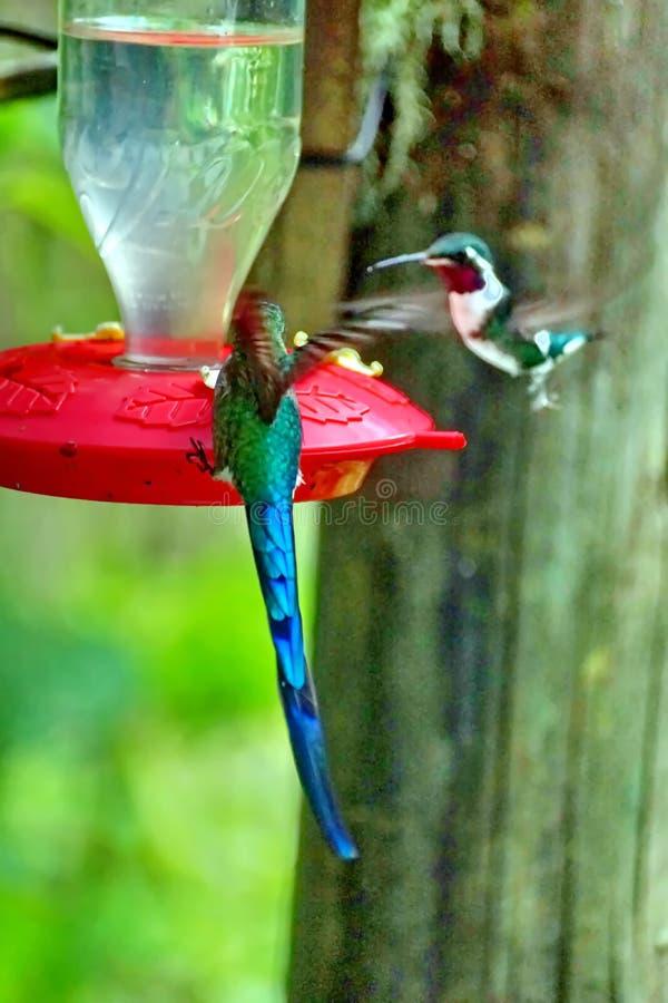 Colibri Long-tailed de Sylph images stock