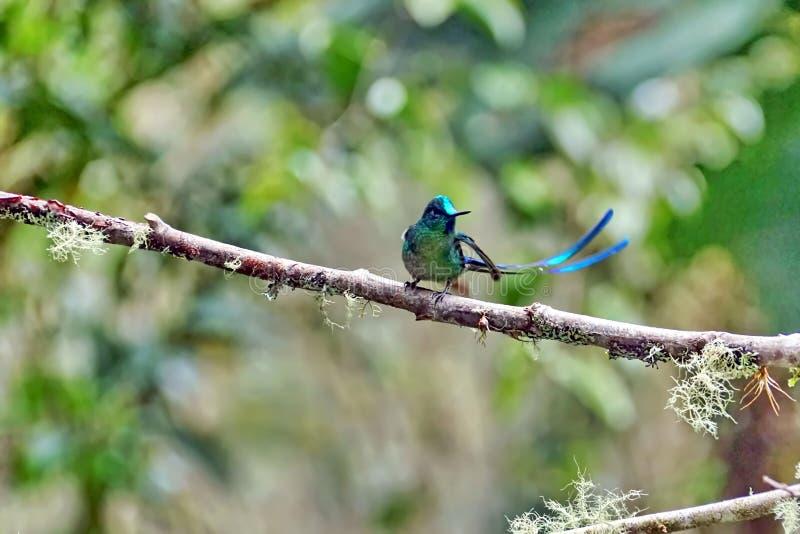 Colibri Long-tailed de Sylph image libre de droits