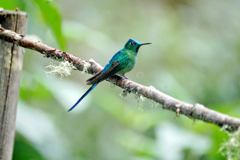 Colibri Long-tailed de Sylph photographie stock