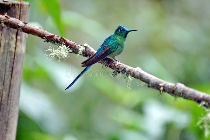 Colibri Long-tailed de Sylph photos libres de droits