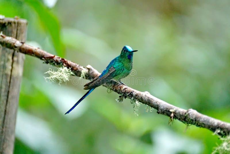 Colibri Long-tailed de Sylph photographie stock libre de droits