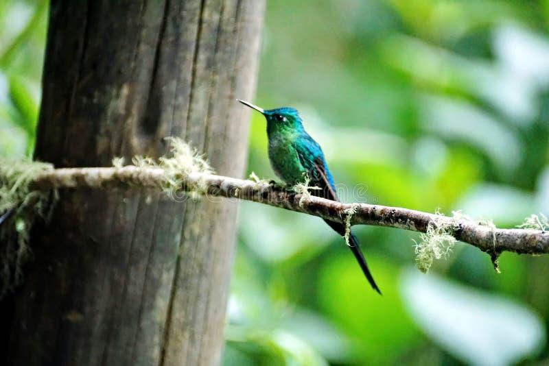 Colibri Long-tailed de Sylph images libres de droits