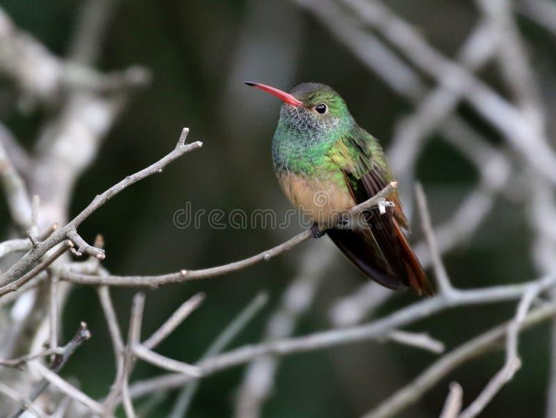 colibri Lustre-inchado - yucatanensis de Amazilia imagem de stock royalty free