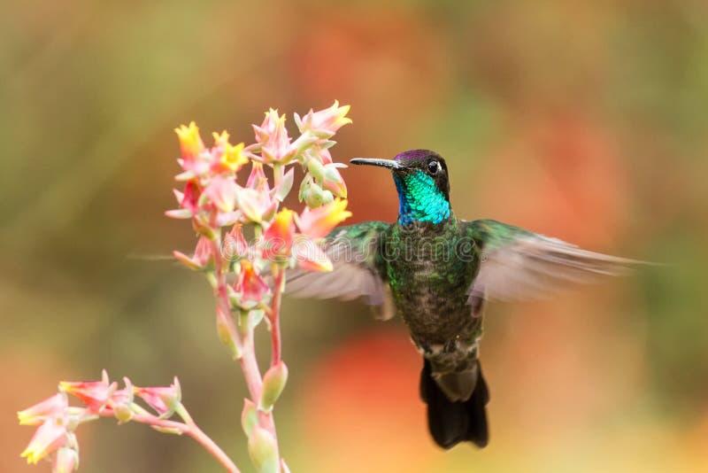 Colibri magnifique planant à côté de la fleur rouge, oiseau en vol, forêt tropicale de montagne, Costa Rica photo stock