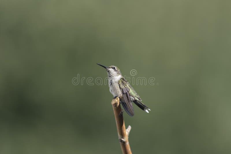 Colibri masculin juvénile iridescent attendant patiemment image libre de droits