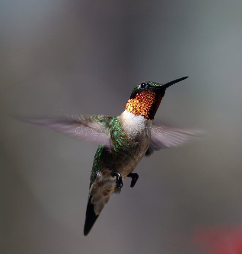 Colibri no vôo